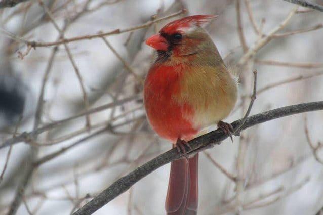 Questo bellissimo uccello è metà maschio e metà femmina: cos'è il ginandromorfismo bilaterale