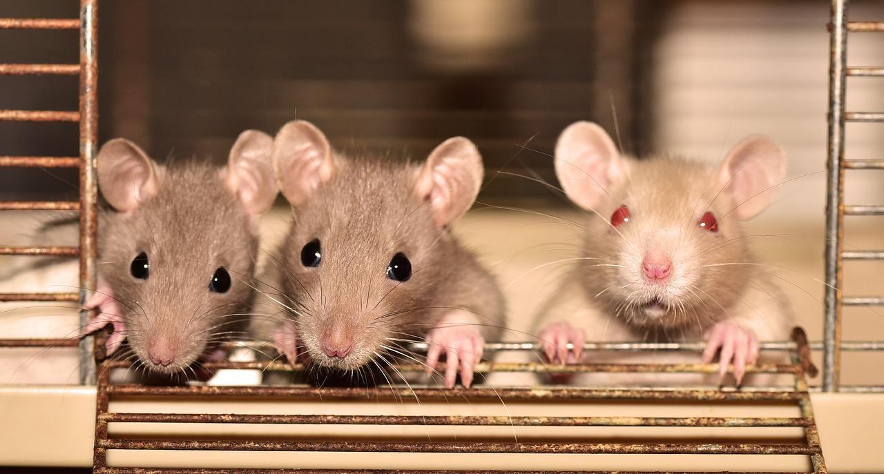 Disinfestazioni ratti: metodi sicuri